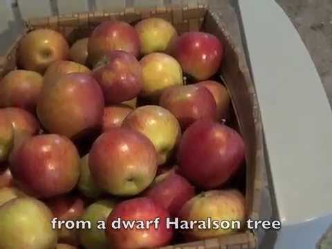 The secret to great apples without poisonous sprays: maggot barriers and rubber bands!