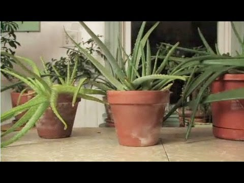 How To Get Aloe From a Plant
