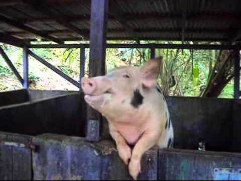 The Beer-Drinking Pig of St. Croix