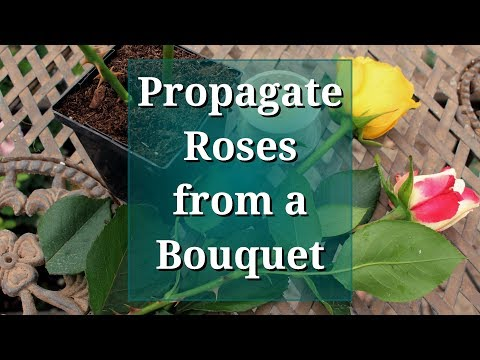 Propagate Roses from a Bouquet