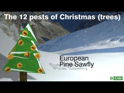 12 pests of Christmas Trees