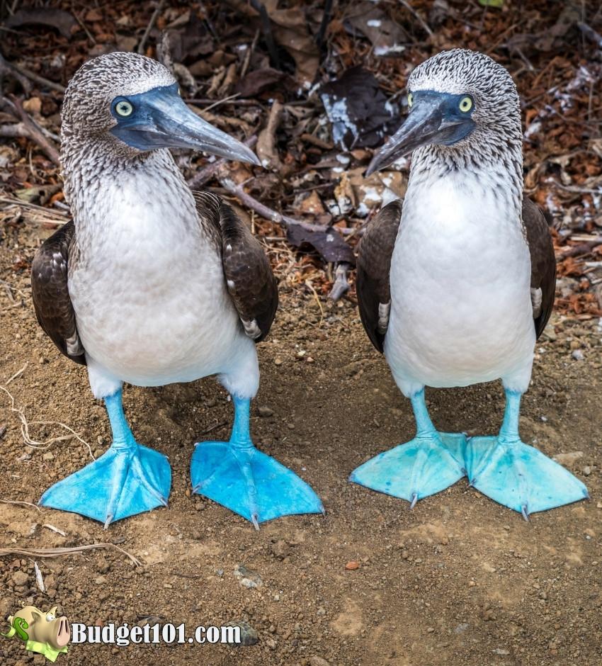 blue footed booby galapagos island