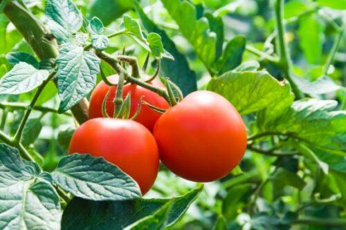 sweeter disease free tomato tip