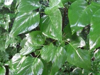 leaf gloss