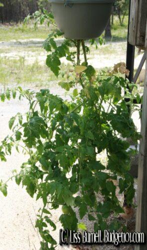 5ca00f4699101 myo upside down tomato planter
