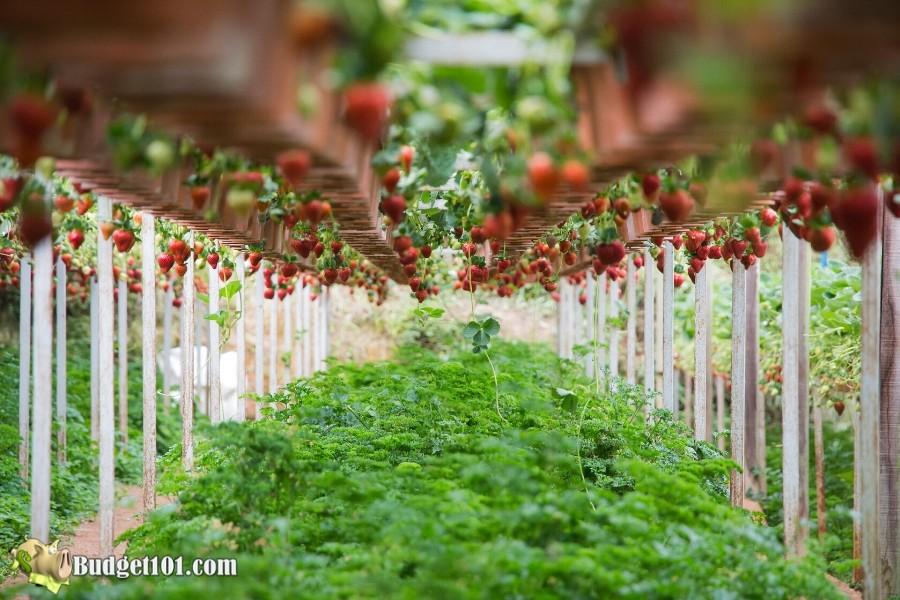 b101-growing-strawberries