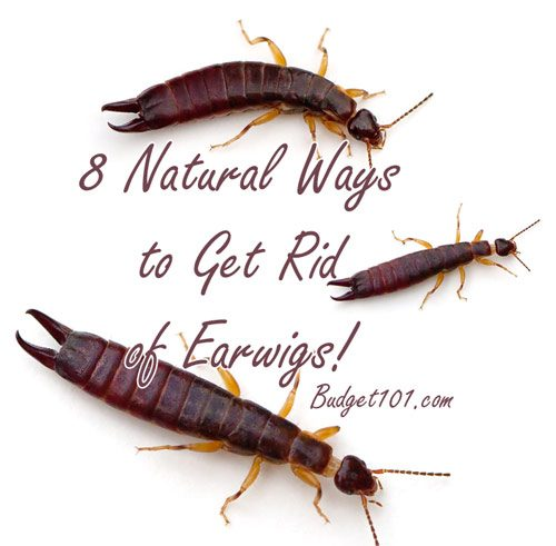8 natural ways to get rid of earwigs