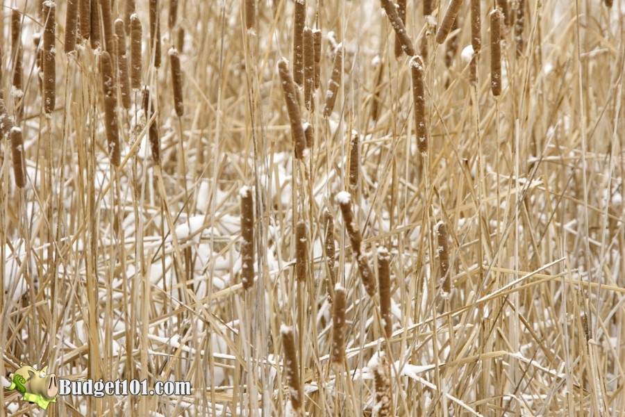 b101-foraging-wild-foods-bulrush-winter