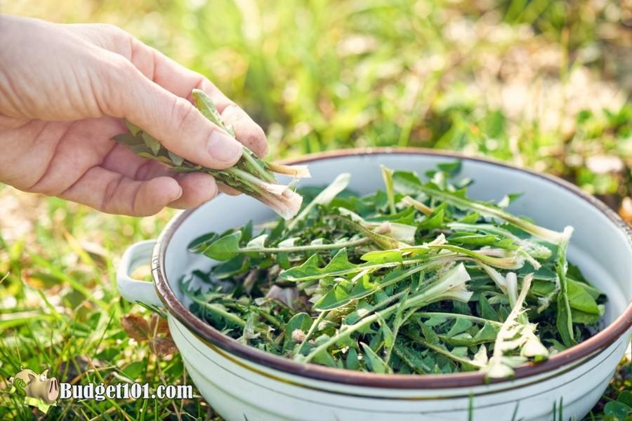 b101-foraging-wild-foods-dandelion-greens