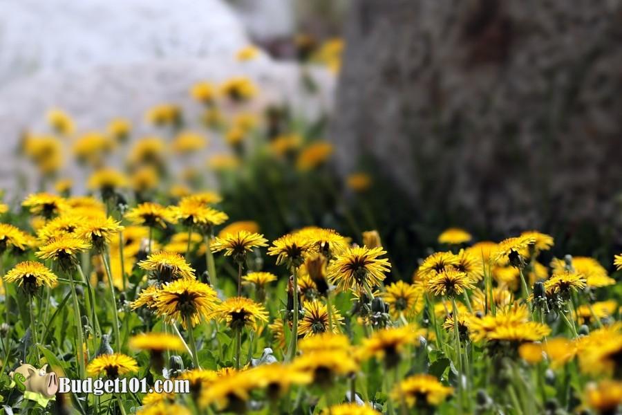 b101-foraging-wild-foods-dandelions