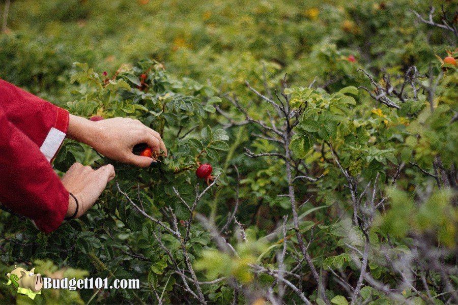 b101-foraging-wild-foods-wild-rosehips