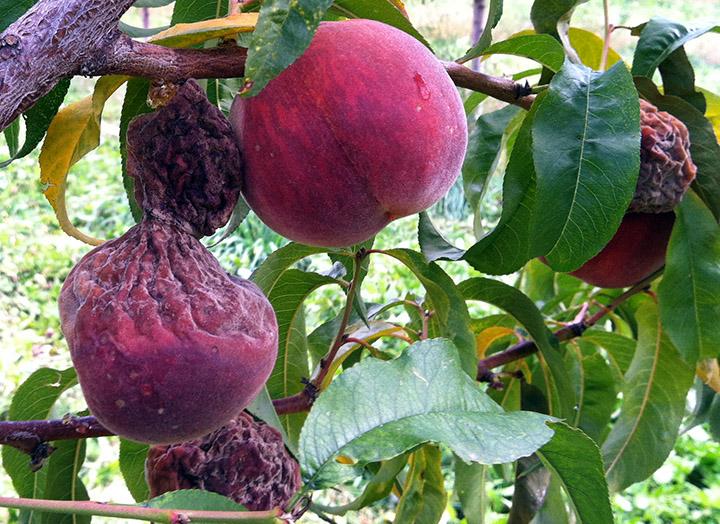 brown rot fruit