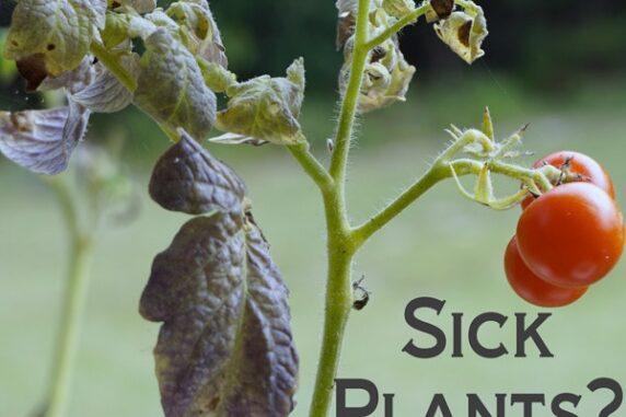 tomato virus protective spray