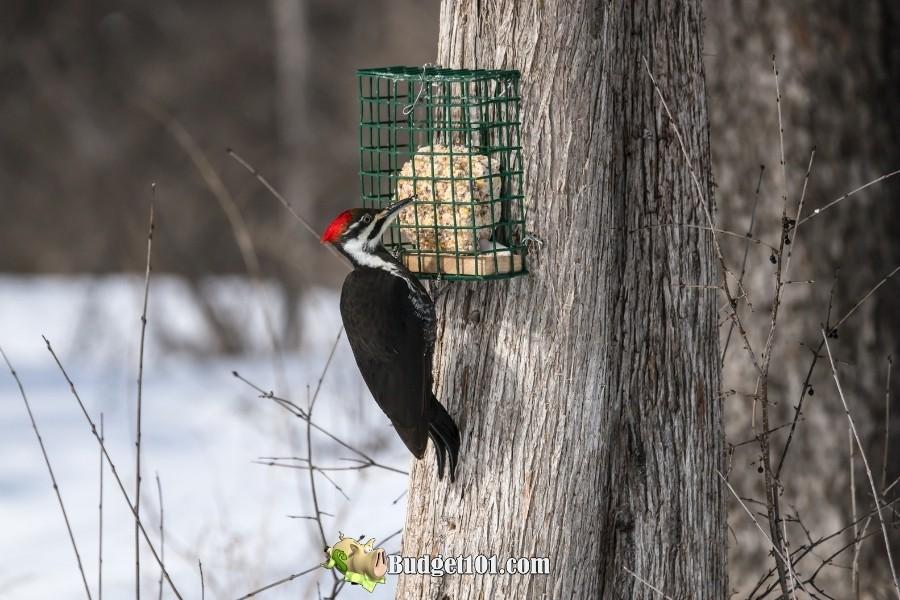 pliated woodpecker homemade suet treat