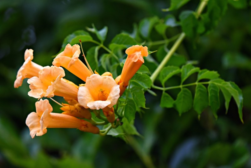 Trumpet Vine causes Cow Itch