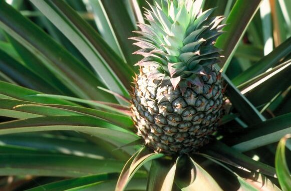 grow a pineapple in your home