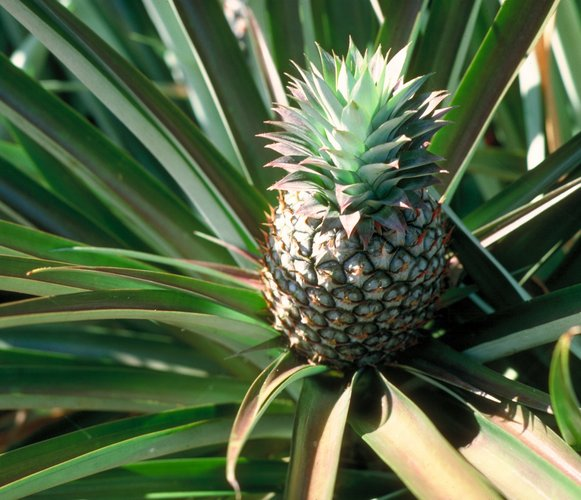 grow-a-pineapple-in-your-home
