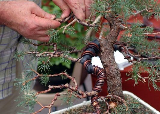 Pleasant How To Wire Bind Bonsai Trees Wiring Cloud Mangdienstapotheekhoekschewaardnl