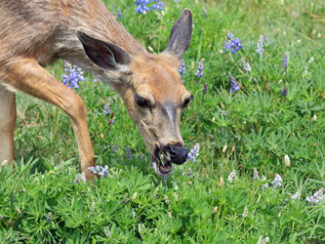 myo deer away spray