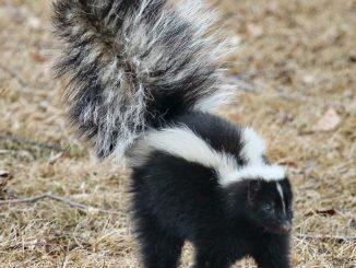 How to remove Skunk Odor