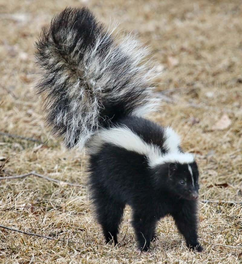 How to remove Skunk Odor