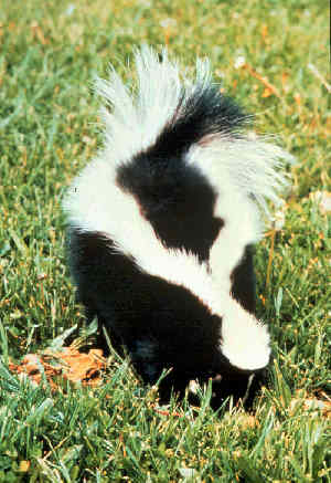 improved-skunk-odor-remover