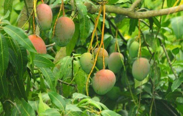 How to Grow a Mango Tree
