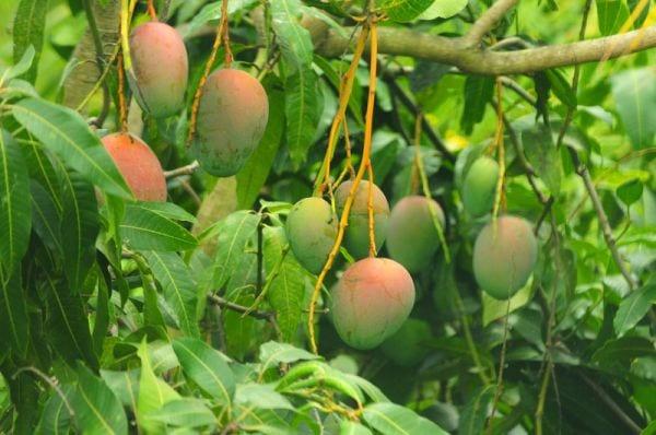 b101 how to grow a mango tree