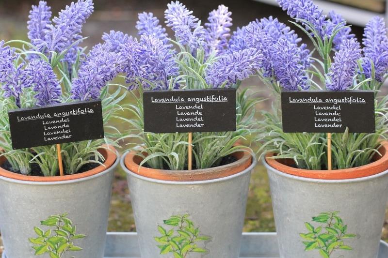 Fresh Lavender Augustfolia