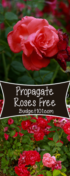 How to propagate roses using potatoes #Cultivate #Roses #DIY #DirtCheap #Budget101