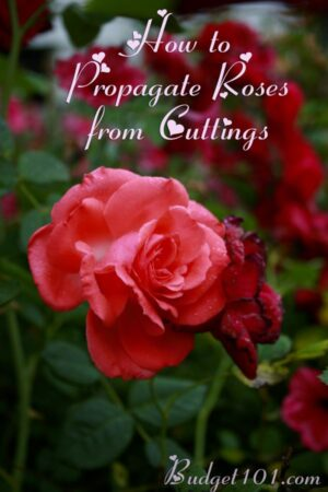 How to Cultivate Roses- using Potatoes