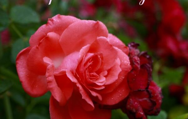 How To Cultivate Roses Using Potatoes Propagate Roses From Bouquets