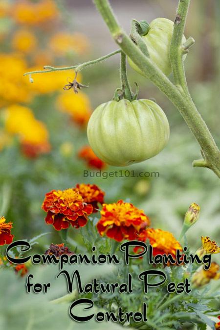 companion-planting-guide