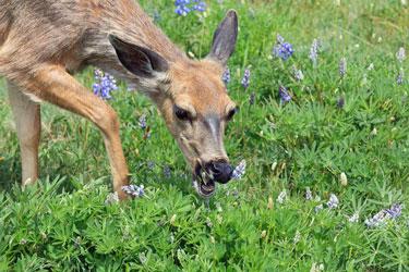 natural deer repellent