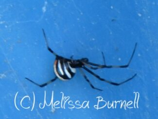 5ca00853762eb spider repellent keeping black widows and brown recluses away from your family