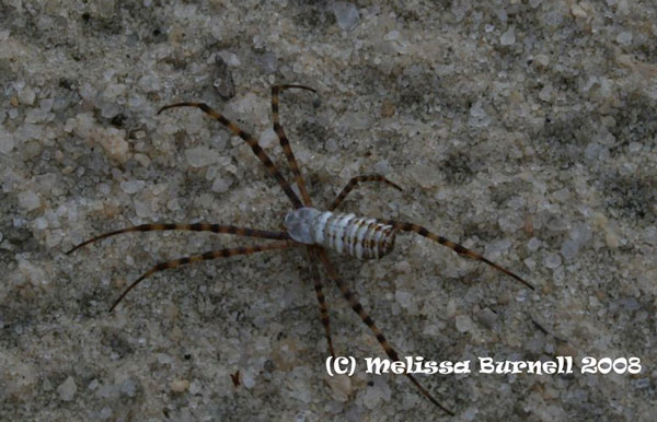 spider-repellent-keeping-black-widows-and-brown-recluses-away-from-your-family