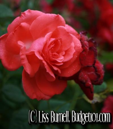 myo-rose-bush-fertilizer