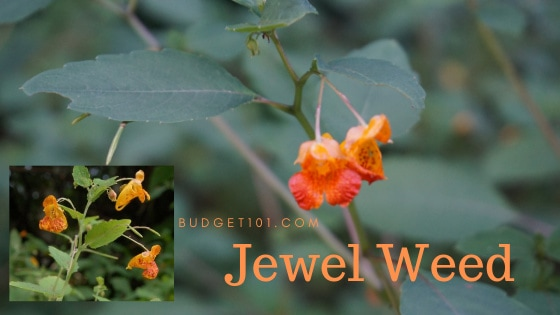 Jewel Weed Poison Ivy Cure