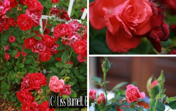 b101 roses wfazrt1 1