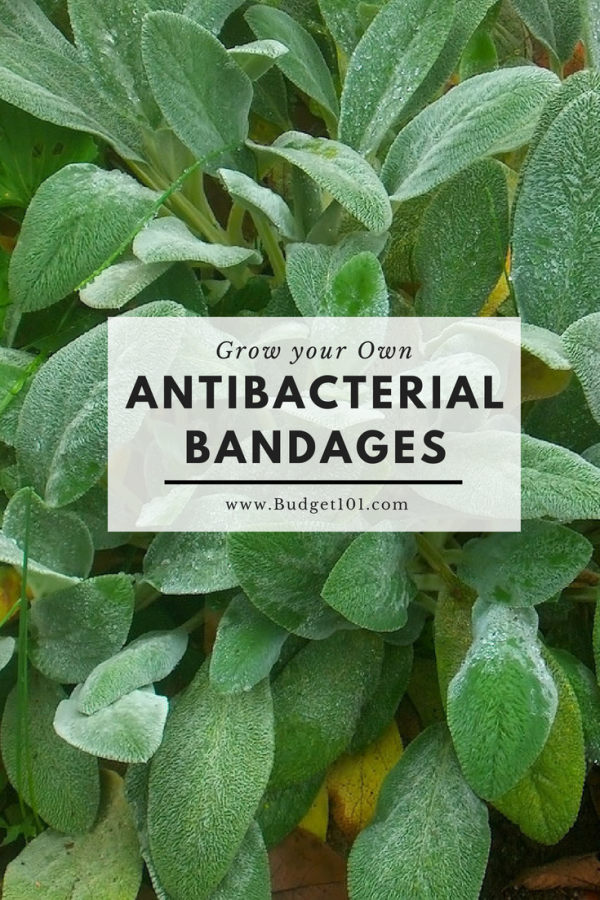 grow-your-own-antibacterial-bandages