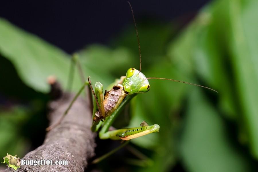 b101-natural-garden-predator-mantis-2