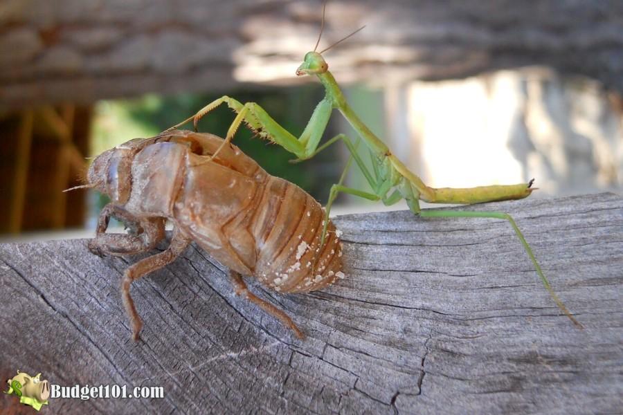 b101-natural-garden-predator-mantis-cicada