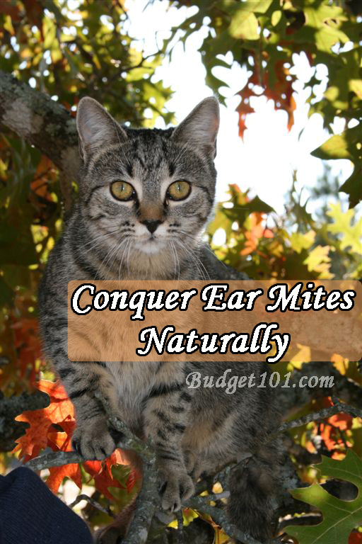 conquering-ear-mites-naturally