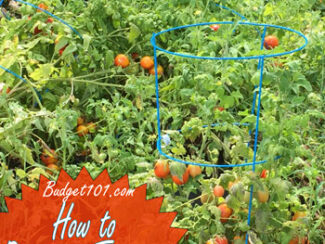free tomato plants from cuttings