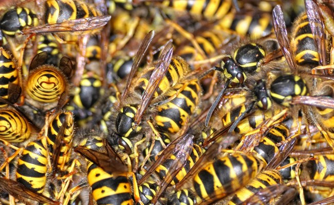wasp-yellow-jacket-remedy