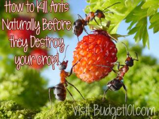 easy non toxic solution to kill ants