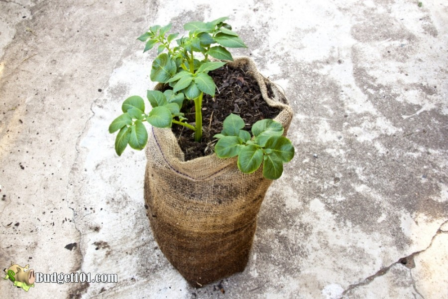 b101-grow-potatoes-in-bags