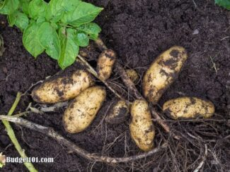 b101 home grown potatoes 3