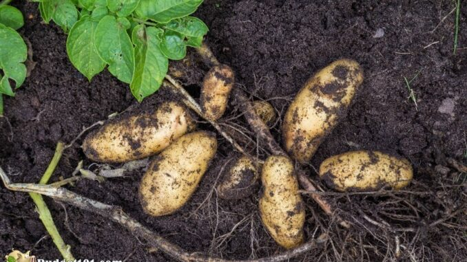 b101-home-grown-potatoes-3