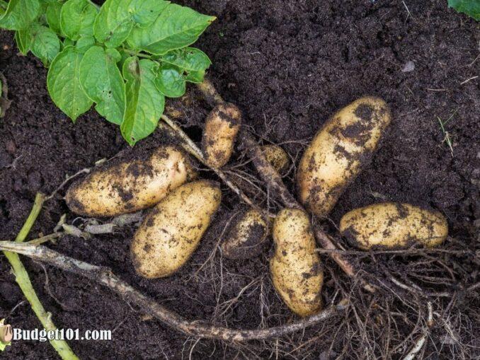 b101-home-grown-potatoes-3